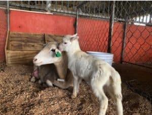 Recuperan animales robados de finca del RUM
